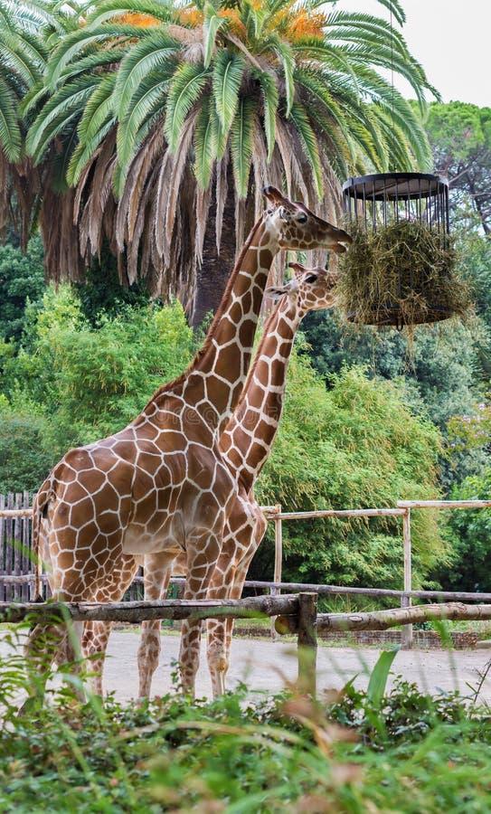 Giraff som äter i en zoo camelopardalis arkivfoton