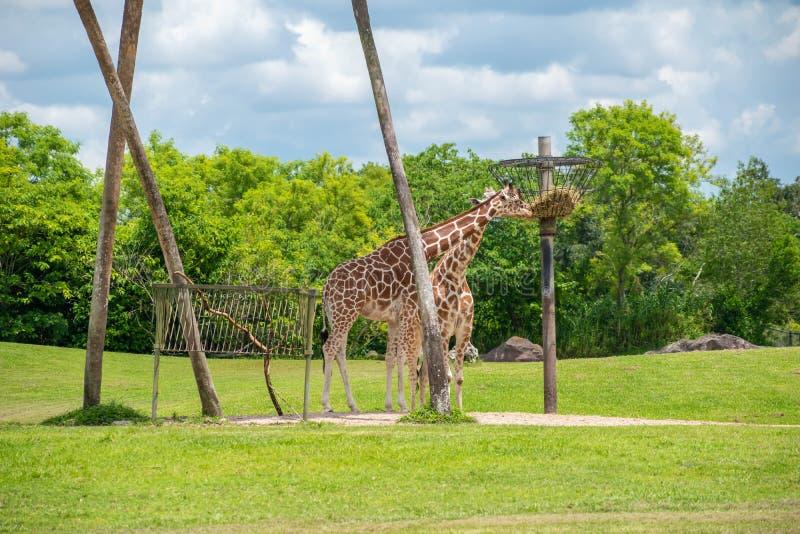 Giraff som äter på grön äng på Busch trädgårdar 1 fotografering för bildbyråer