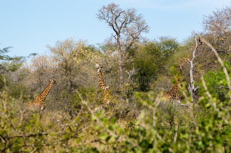 Giraff som äter sidor av trädet Sydafrika safaridjur arkivfoto