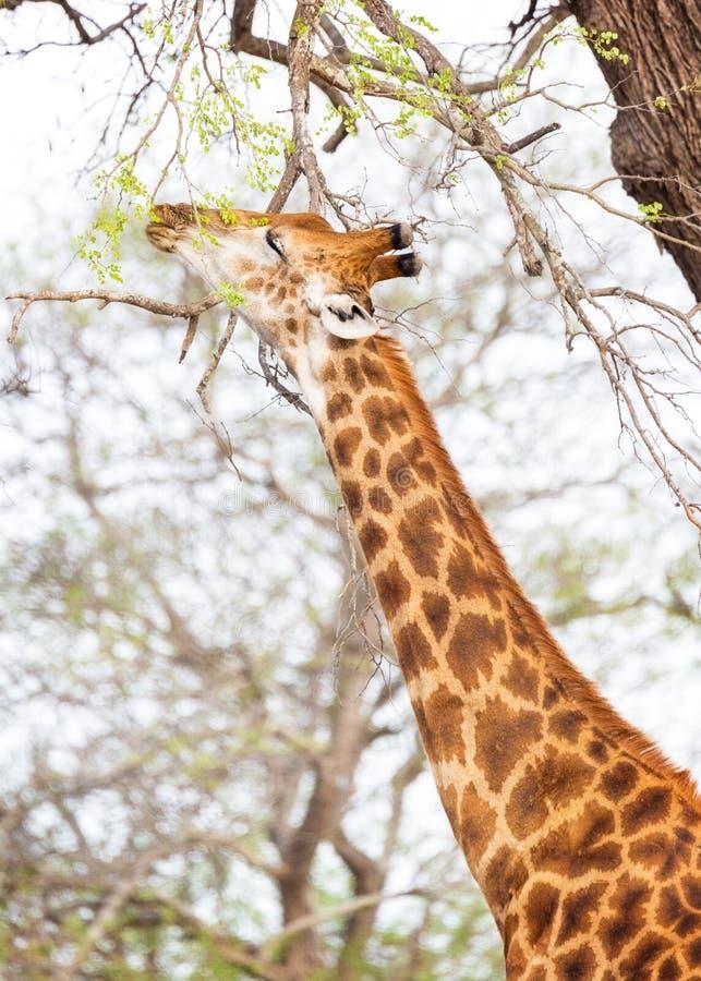 Giraff som äter sidor från träd fotografering för bildbyråer