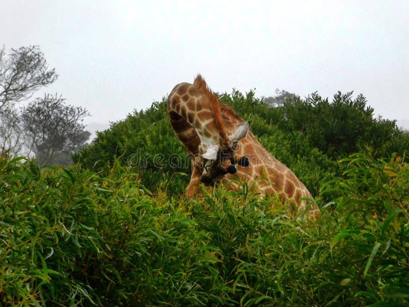 Giraff som böjer dess långa hals arkivfoto