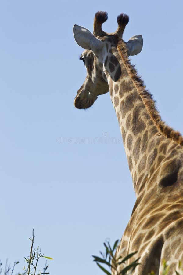 Giraff som bort går royaltyfria foton