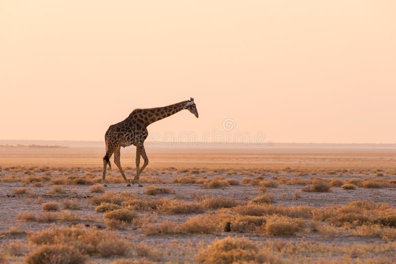 Giraff som går i busken på ökenpannan på solnedgången Djurlivsafari i den Etosha nationalparken, den huvudsakliga loppdestination arkivfoton