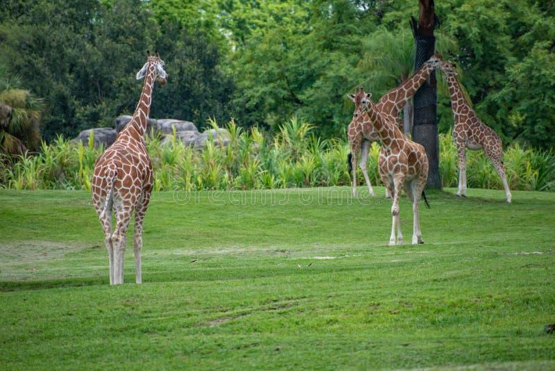 Giraff som går och vilar på grön äng på Busch trädgårdar 2 royaltyfria bilder