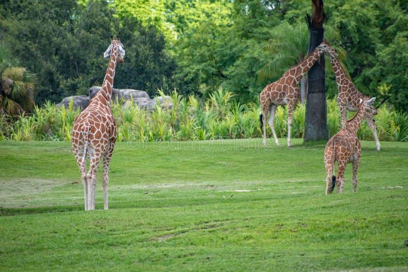 Giraff som går och vilar på grön äng på Busch trädgårdar 1 arkivfoto