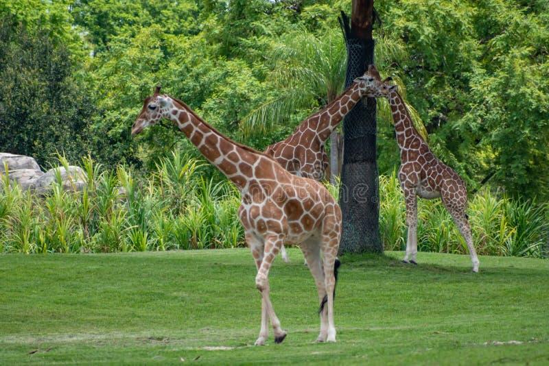 Giraff som går och vilar på grön äng på Busch trädgårdar 5 arkivbilder