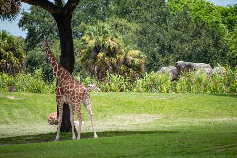 Giraff som går och vilar på grön äng på Busch trädgårdar 7 royaltyfri bild