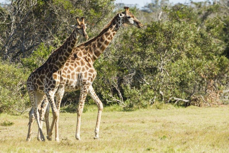 Giraff som går till och med kort gräs arkivbild