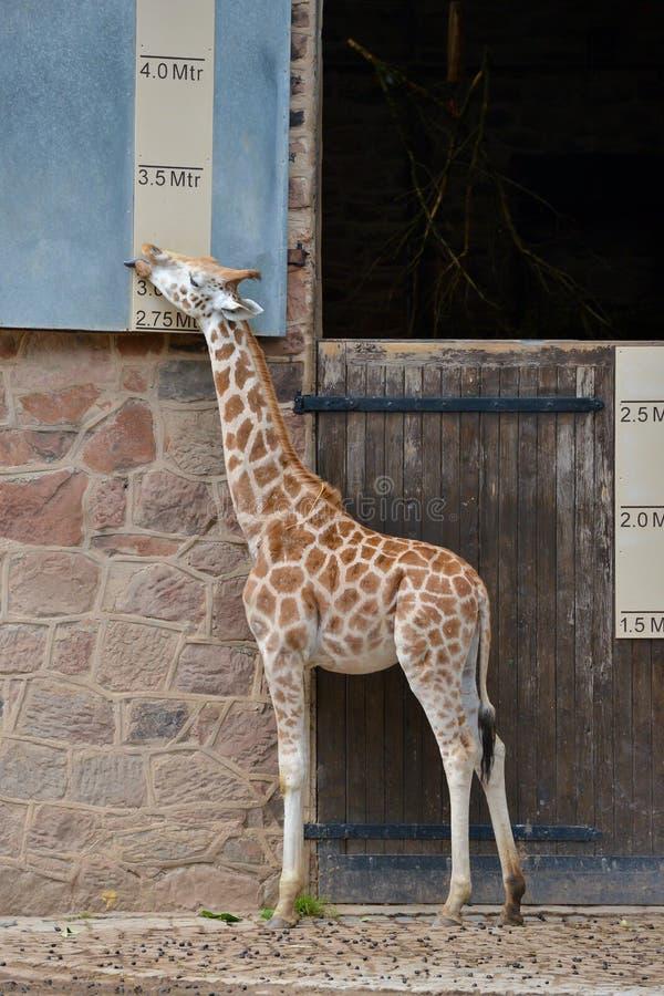 Giraff som mäter sig mot ett höjddiagram på en zoo arkivfoton