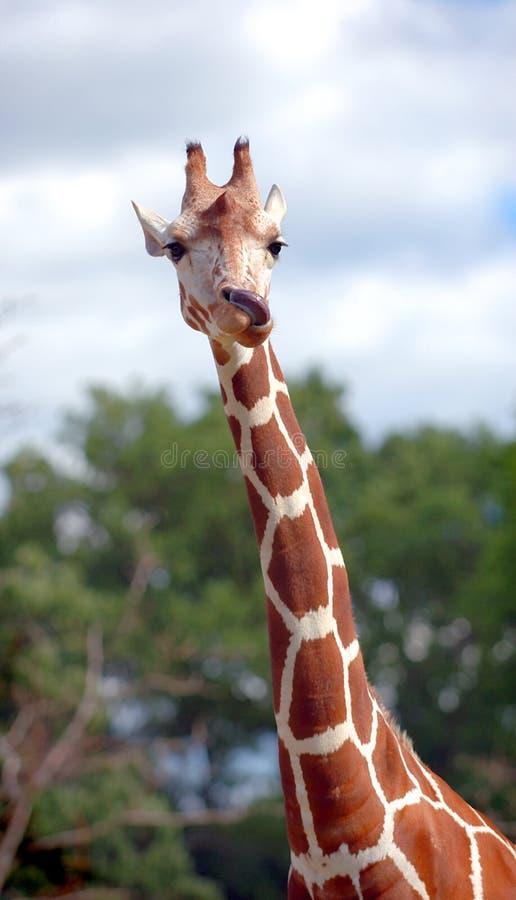 giraff som slickar näsan royaltyfri fotografi