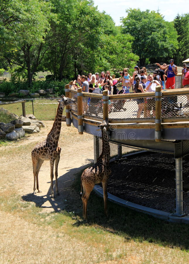 Giraff som står den near plattformen med folk som rymmer sidor för att mata, Cleveland Zoo, 2016 royaltyfri fotografi
