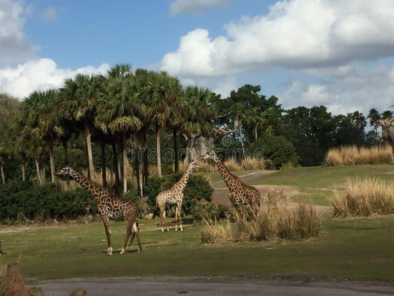 Giraff som strosar till och med ett gräs- fält med träd royaltyfria foton