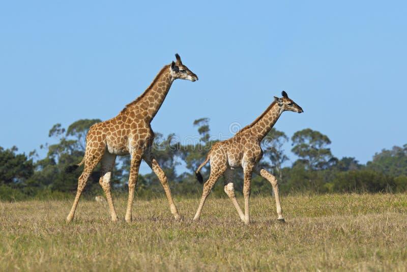 Giraff som två kör på kort torrt gräs royaltyfri foto