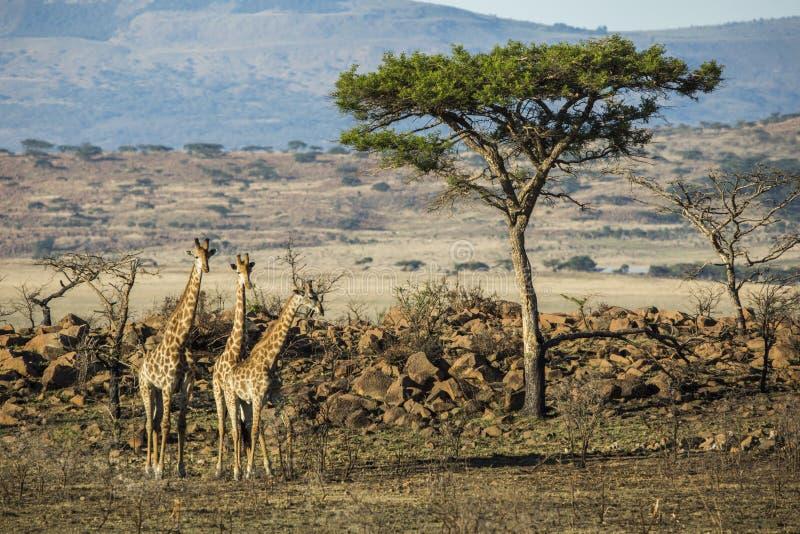 Giraff tre under ett träd royaltyfri bild