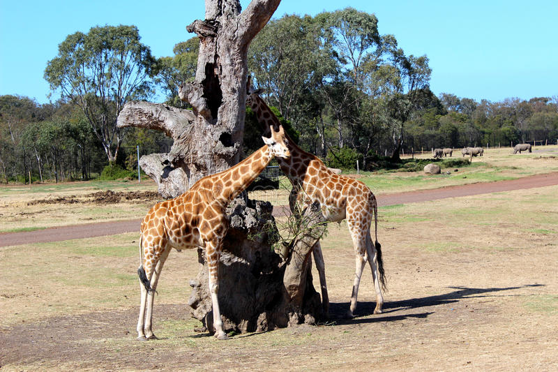 Giraff vid det döda trädet arkivfoton