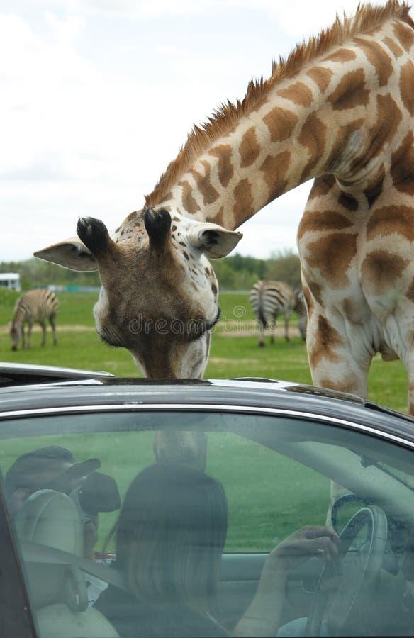 Giraffa immagine stock