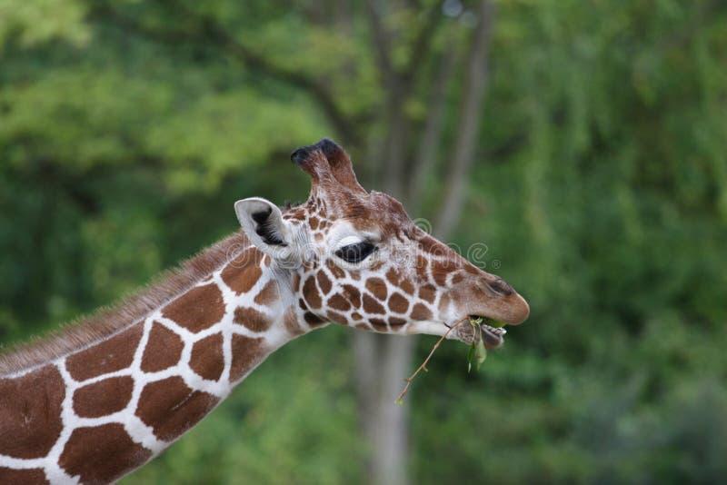 Download Giraffa fotografia stock. Immagine di savanna, masticazione - 3136908