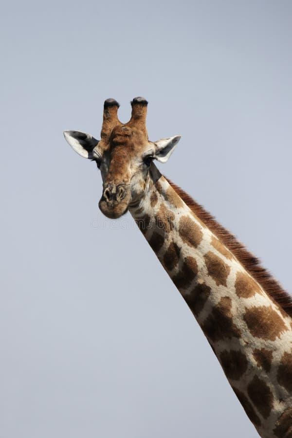 Download Giraffa fotografia stock. Immagine di cielo, wildlife - 7314572