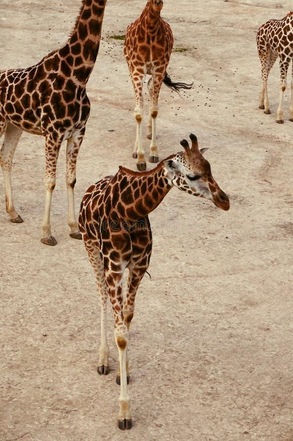 Giraffa obrazy stock