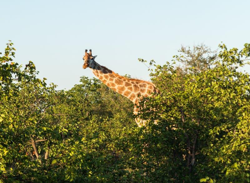Giraffa africana alta che esamina giù la macchina fotografica fotografia stock libera da diritti
