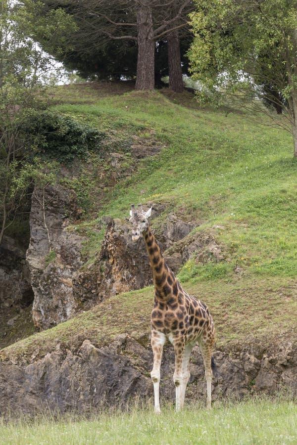 Giraffa, alto animale fotografia stock