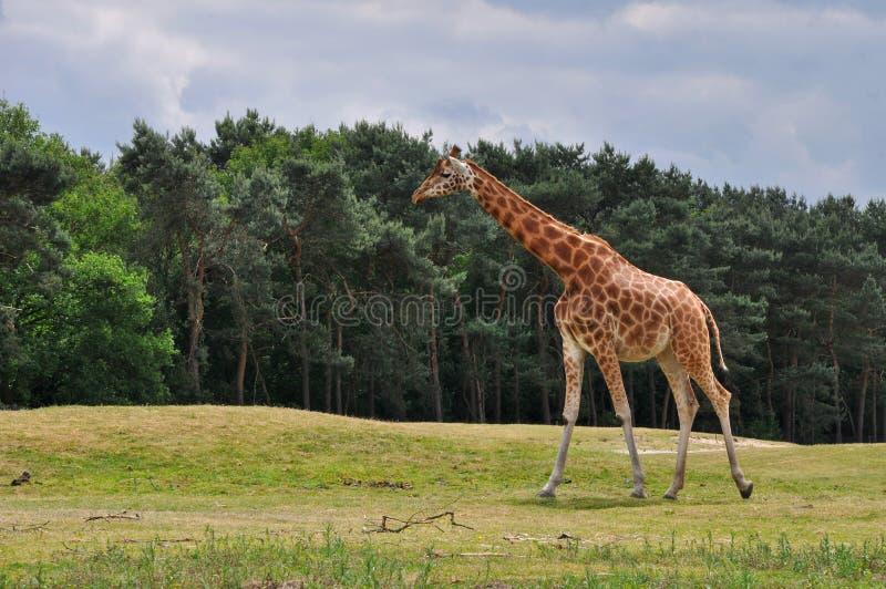Giraffa ambulante immagini stock