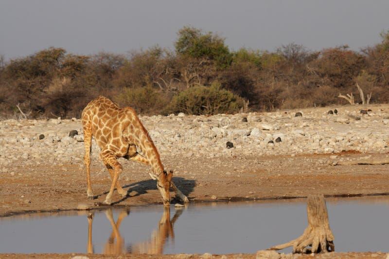 Giraffa bevente fotografie stock