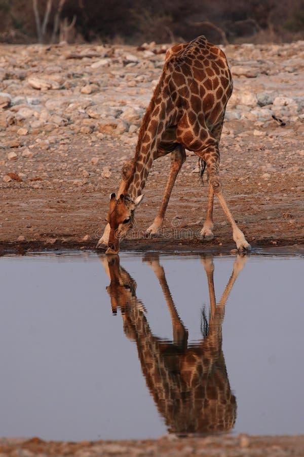 Giraffa bevente immagine stock