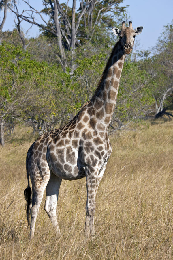 Giraffa - Botswana fotografia stock