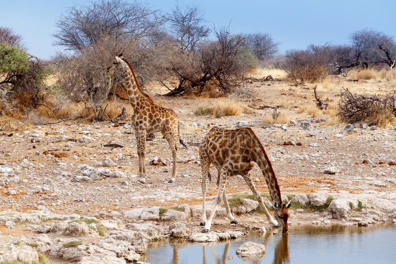 Giraffa camelopardalis drinking from waterhole in Etosha national Park royalty free stock image