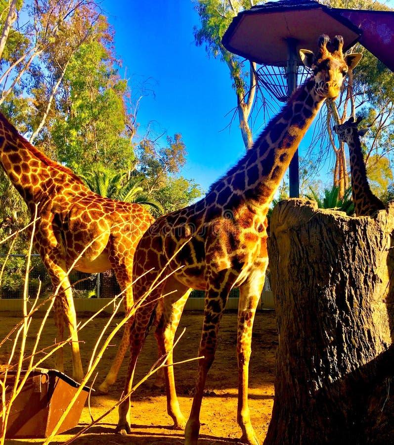 Giraffa camelopardalis - girafa africana imagens de stock royalty free