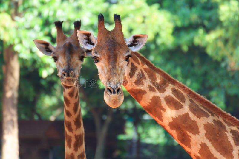 Giraffa capa due immagini stock libere da diritti