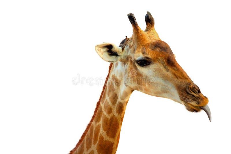 Giraffa capo isolato immagini stock libere da diritti