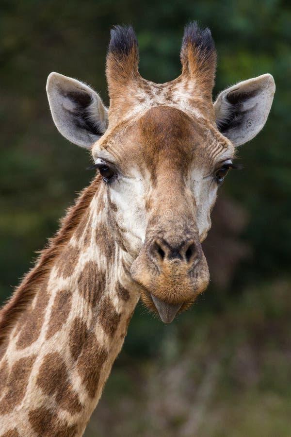 Giraffa che attacca fuori linguetta fotografia stock