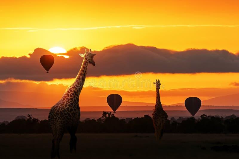 Giraffa che cammina nell'alba in Africa fotografia stock libera da diritti