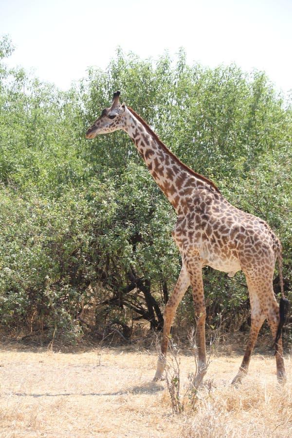 Giraffa che cerca tempo di giorno dell'alimento fotografie stock