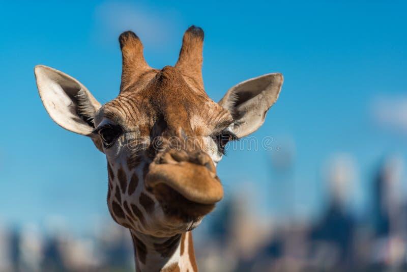 Giraffa che fa i fronti scettici mentre masticando alimento immagine stock