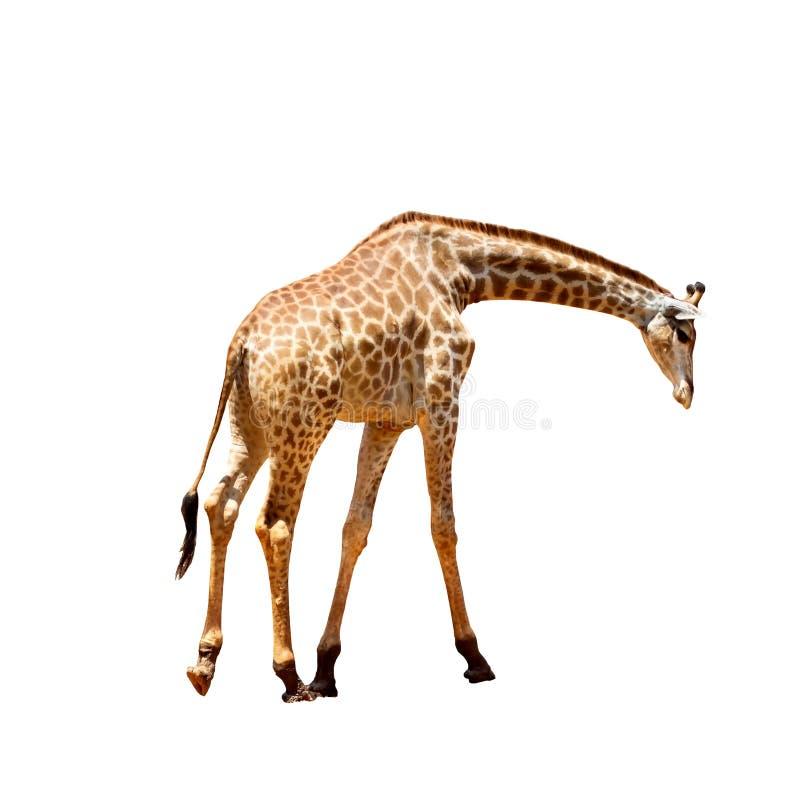 Giraffa che guarda dall'alto in basso fondo bianco fotografie stock