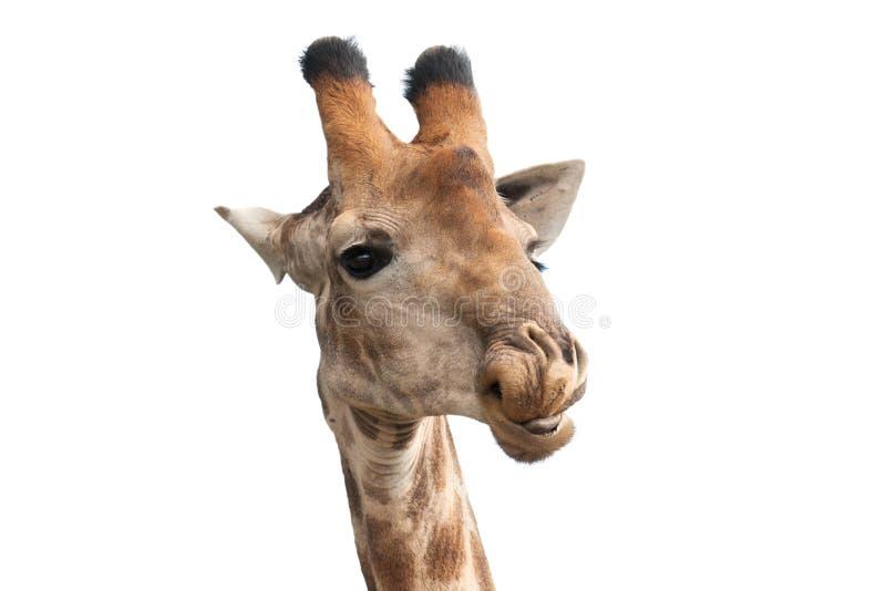 Giraffa che guarda indietro fotografia stock