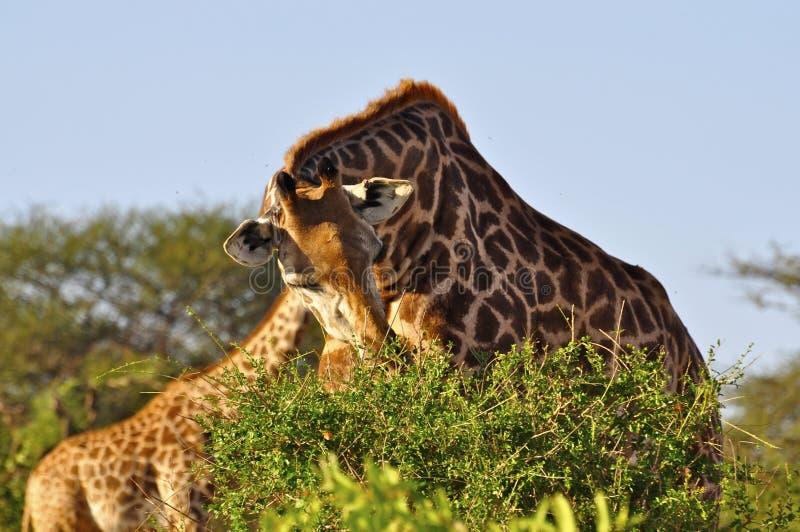 Giraffa che mangia l'Africa fotografia stock