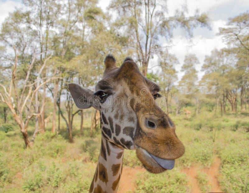 Giraffa che mostra la sua lingua fotografia stock