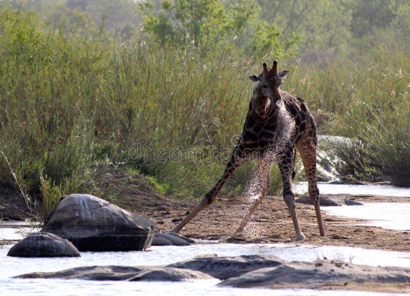 Giraffa che prende una bevanda immagini stock libere da diritti