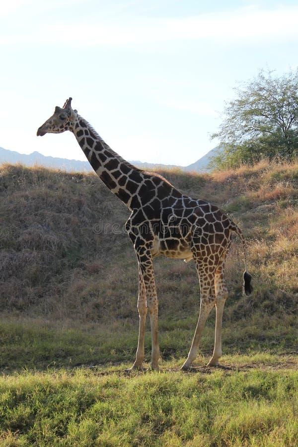 Giraffa che riposa sull'erba immagini stock