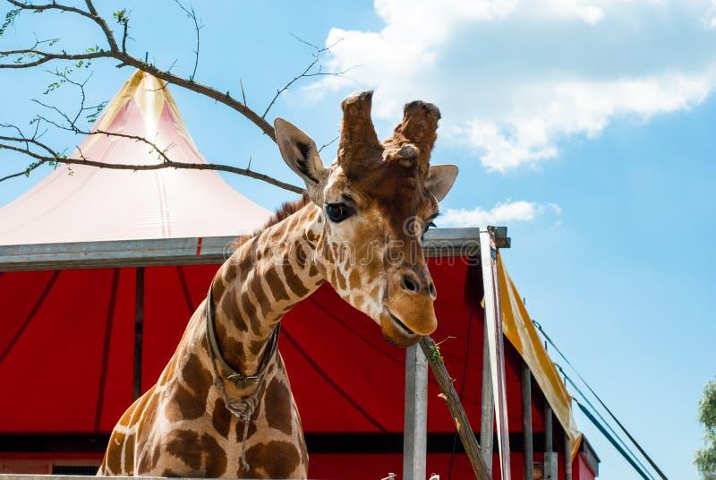 Giraffa con gli occhi tristi immagine stock libera da diritti