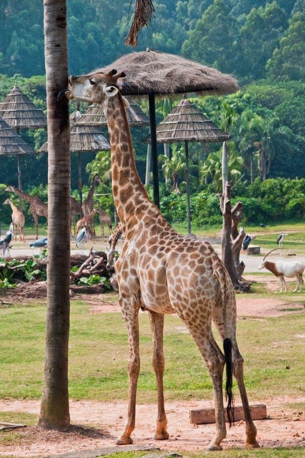 Giraffa con un albero squisito fotografia stock