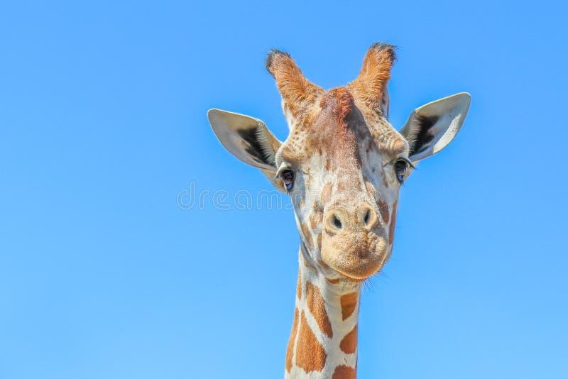 Giraffa contro un chiaro cielo blu fotografie stock