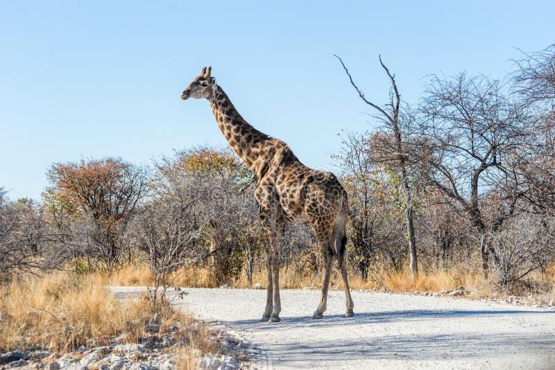 Giraffa dell'Angola che cammina attraverso la strada della ghiaia nel parco nazionale di Etosha immagini stock libere da diritti