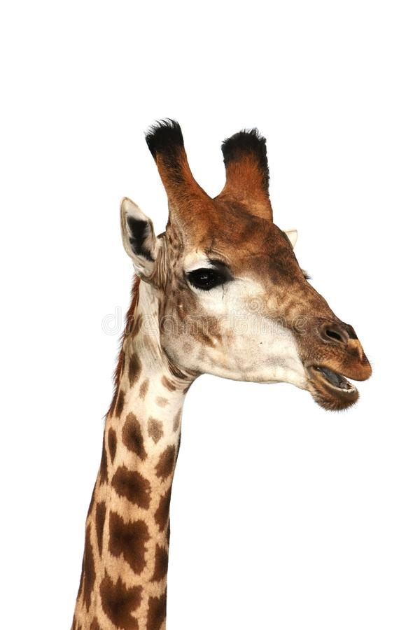 Giraffa di conversazione immagini stock
