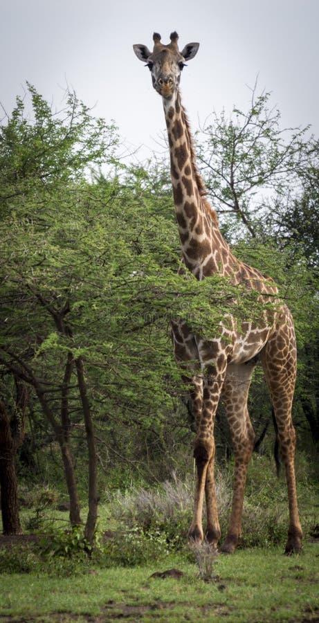 Giraffa dietro l'albero sulla savanna nel parco di amboseli immagine stock