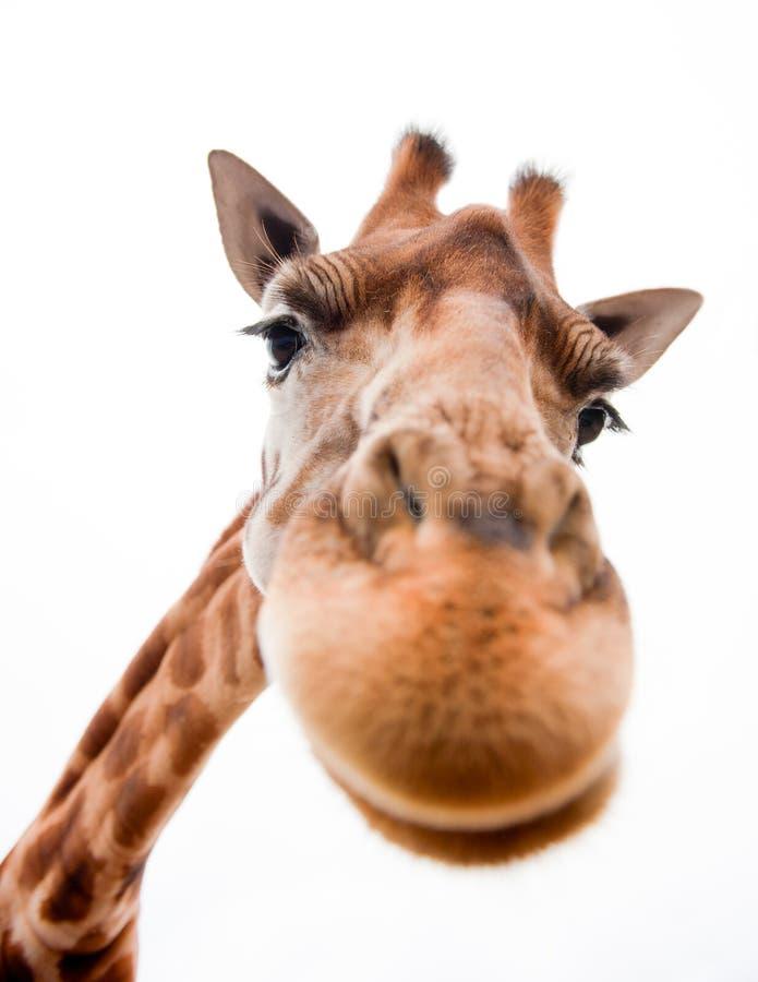 Giraffa divertente fotografie stock